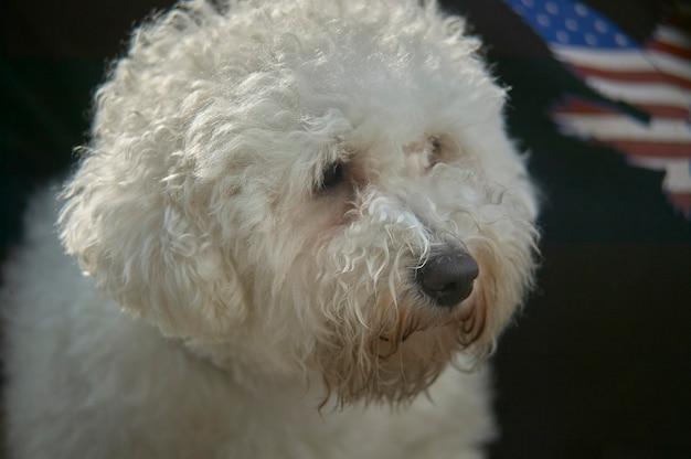 Pies pudel z bliska portret z rozmytym tłem