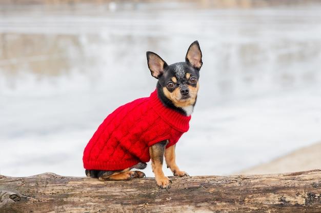 Pies rasowy chihuahua odzież na zewnątrz. ubrany chihuahua. portret psa w stylowe czerwone ubrania