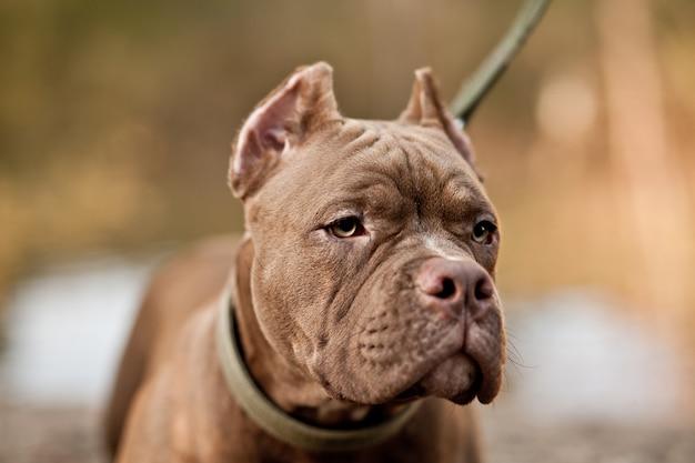 Pies rasy american bully na łonie natury