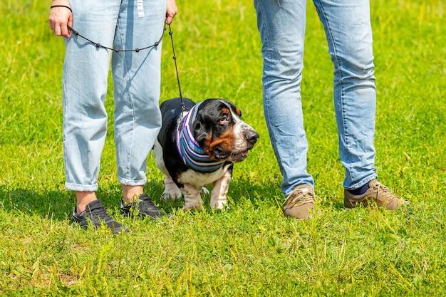 Pies rasy basset hound w parku w pobliżu ludzi. ciekawy pies w szaliku