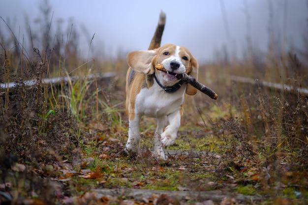 Pies rasy beagle bawi się kijem w jesiennym parku w gęstej mgle