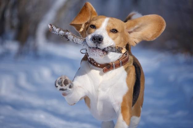 Pies rasy beagle biegnie i bawi się w zimowym lesie w słoneczny mroźny dzień