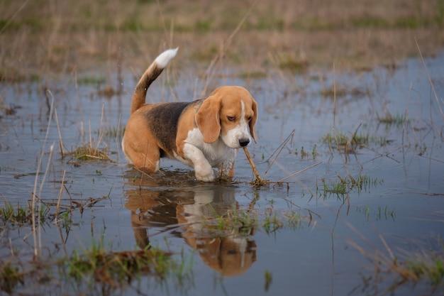 Pies rasy beagle biegnie po dużych wiosennych kałużach podczas wieczornego spaceru