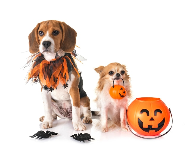 Pies rasy beagle, chihuahua i halloween przed białym tłem