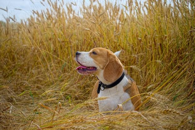 Pies rasy beagle chodzenie po polu pszenicy złotej