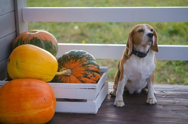 Pies rasy beagle i duże żółte dynie na letniej werandzie