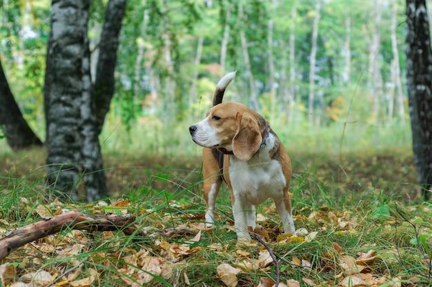 Pies rasy beagle na spacerze w jesiennym parku z żółtymi liśćmi