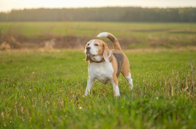 Pies rasy beagle na spacerze w majowy wieczór