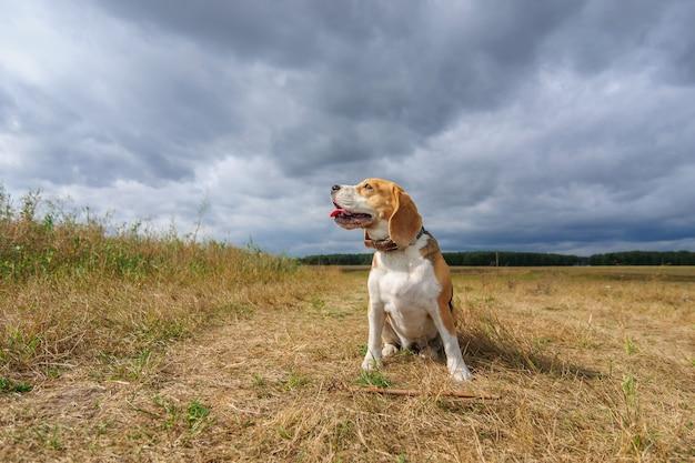 Pies rasy beagle na tle gęstych chmur podczas spaceru na łonie natury
