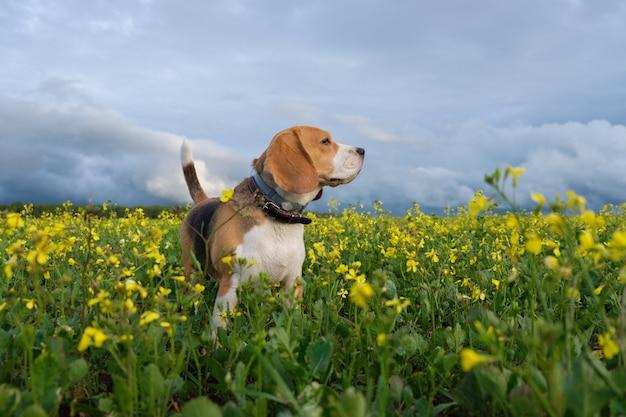 Pies rasy beagle na żółtym polu kwitnącego rzepaku w letni wieczór podczas spaceru