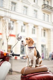 Pies rasy beagle siedzi na motorowerze retro na tle miejskiej ulicy