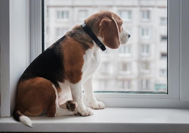 Pies rasy beagle siedzi na parapecie i patrzy przez okno