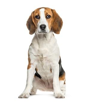 Pies rasy beagle siedzi, wycięty