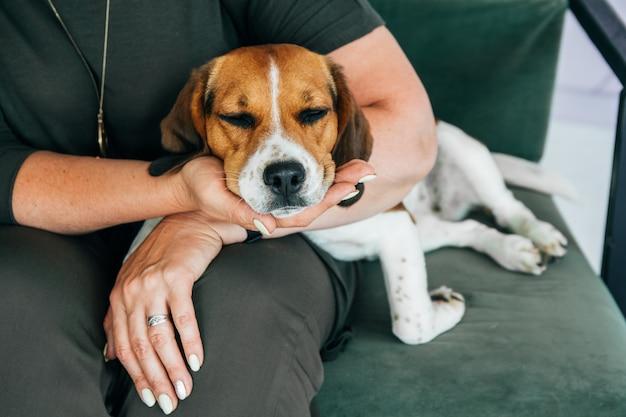 Pies rasy beagle śpi w rękach kobiety. skopiuj miejsce.