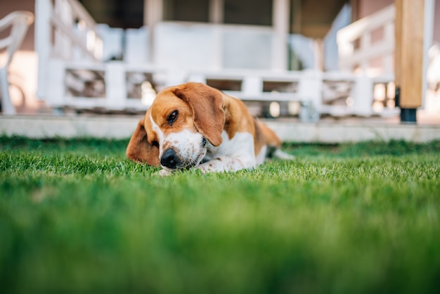 Pies rasy beagle układa outdors bawiąc się kościami.
