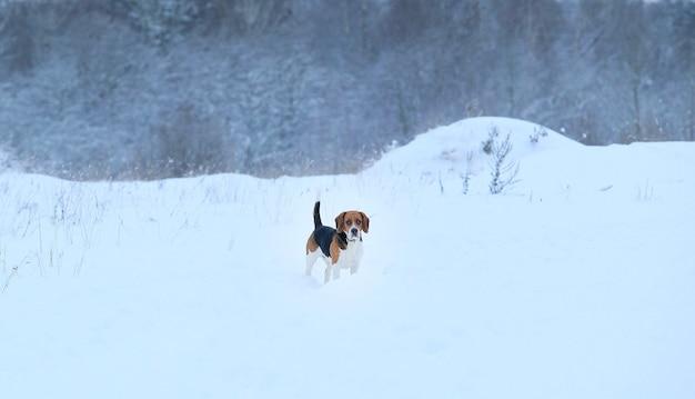 Pies rasy beagle w zimie stojący