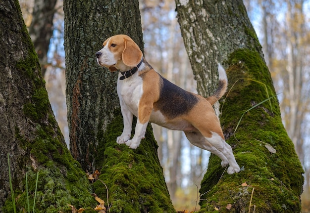 Pies rasy beagle wspiął się i stoi na drzewie w jesiennym lesie