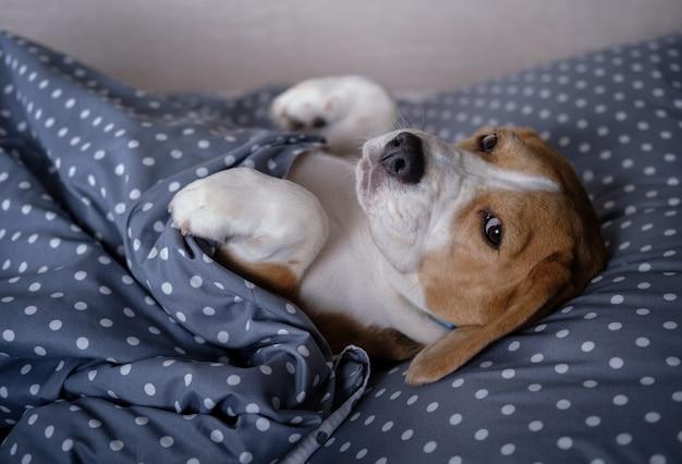 Pies rasy beagle zabawny leżący na łóżku łapkami do góry na poduszce pod kocem