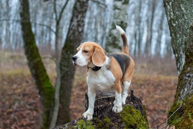 Pies rasy beagle zabawny siedzi na pniu w jesiennym parku