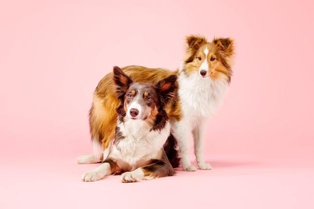Pies rasy border collie i pies owczarek szetlandzki w studiu fotograficznym na różowym tle