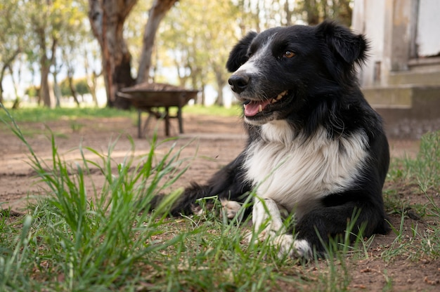Pies rasy border collie, leżąc na trawie