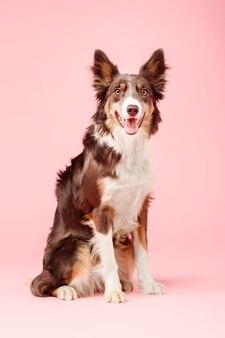 Pies rasy border collie w studiu fotograficznym na różowym tle