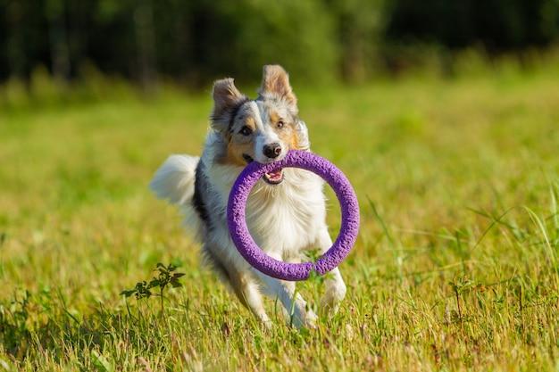 Pies rasy border collie w szaro-żółto-białym kolorze trzyma zabawkę w pysku, biegnie po skoszonym polu spacerując w słoneczny letni dzień