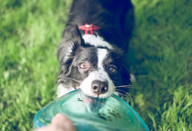 Pies rasy border collie z latającą tarczą
