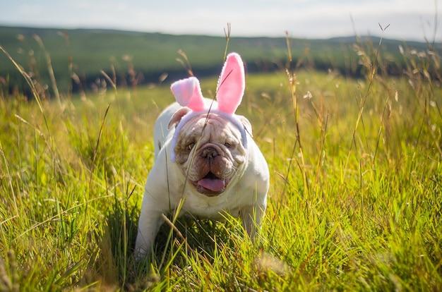Pies rasy buldog angielski przebrany za zajączka wielkanocnego