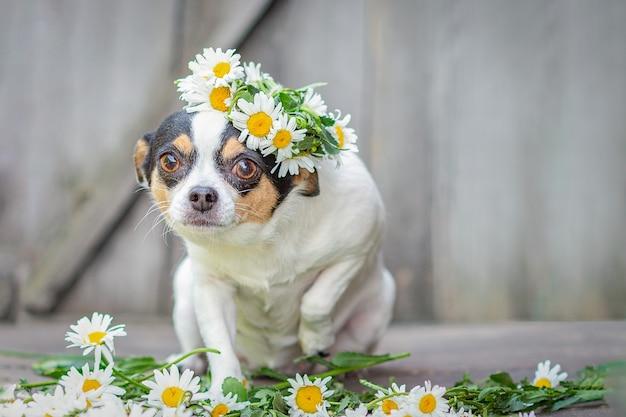 Pies rasy chihuahua siedzący, podniósł przednią łapę, na głowie wieniec ze stokrotek, na szarym drewnianym tle.