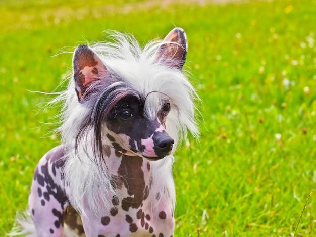 Pies rasy chiński grzywacz