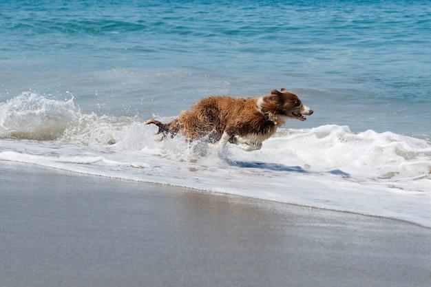 Pies rasy collie biegnie z dużą prędkością na plaży.
