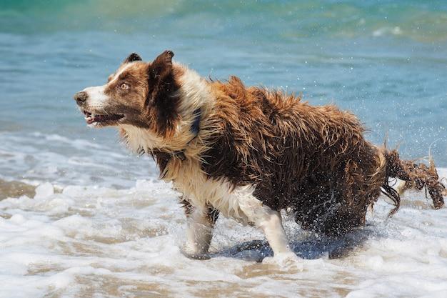 Pies rasy collie otrząsa się z wody po kąpieli w oceanie. zabawny pies