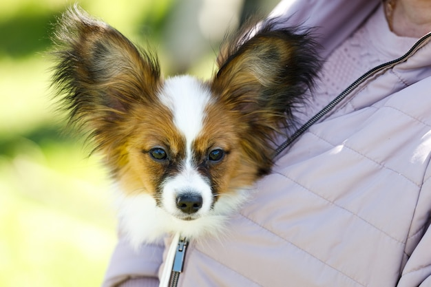 Pies rasy continental toy spaniel siedzi za zatokami gospodyni. zdjęcie wysokiej jakości