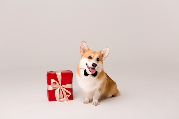Pies rasy corgi w krawacie z czerwonym pudełku na białym
