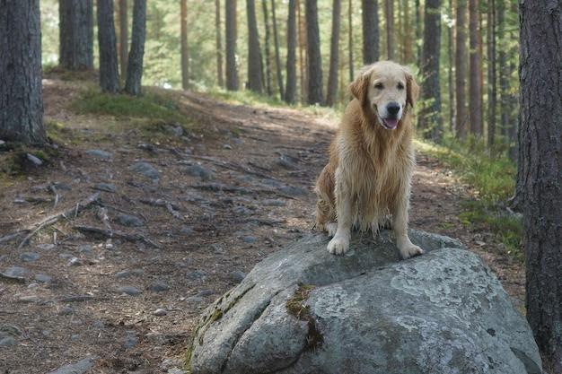 Pies rasy golden retriever siedzący po kąpieli przy dużym głazie na szlaku w sosnowym lesie i uśmiechnięty