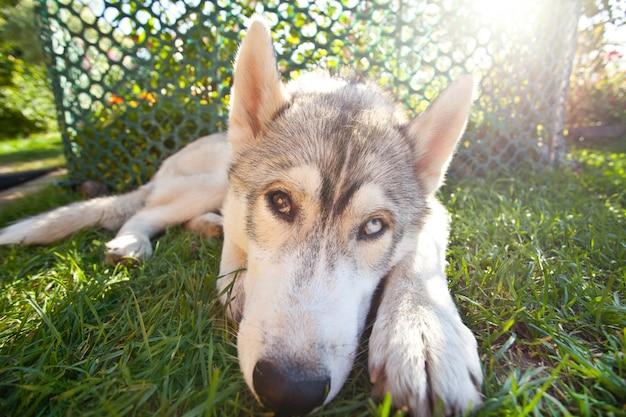 Pies rasy husky, leżąc na trawie i patrząc na kamery.