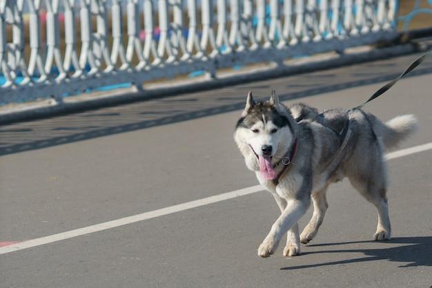 Pies rasy husky na spacer wzdłuż nabrzeża