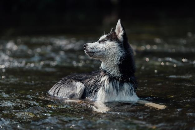 Pies rasy husky o wielokolorowych oczach z powodu heterochromii.