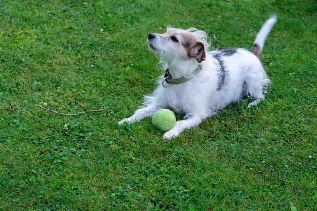 Pies rasy jack russell terrier leży na trawniku i pilnuje piłki