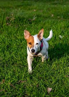 Pies rasy jack russell terrier w lesie na zielonej trawie w kolorowej uprzęży, idzie do przodu do kamery, jedna łapa przed drugą patrząc prosto w kamerę