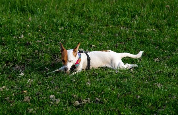 Pies rasy jack russell terrier w lesie na zielonej trawie w kolorowej uprzęży, leży na trawie w pozycji pełzającej, wącha trawę z zamkniętymi oczami