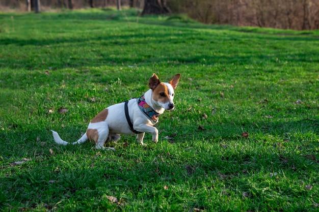 Pies rasy jack russell terrier w lesie na zielonej trawie w kolorowej uprzęży,pies siedzi w pozie myśliwego, jedna łapa jest podniesiona i patrzy uważnie przed siebie,ma zamiar biec przed siebie