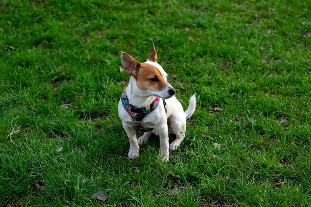 Pies rasy jack russell terrier w lesie na zielonej trawie w kolorowej uprzęży, pies siedzi wyprostowany, patrząc z boku na trawę