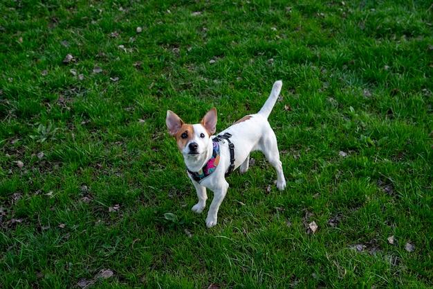 Pies rasy jack russell terrier w lesie na zielonej trawie w kolorowej uprzęży. pies stoi na trawie i patrzy w górę z podniesioną głową, zdjęcie zrobione z góry