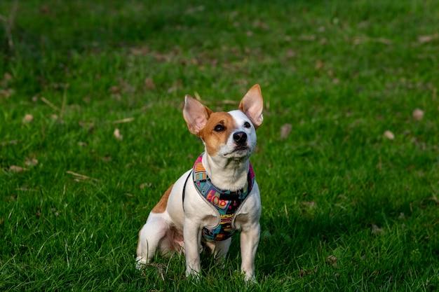 Pies rasy jack russell terrier w lesie na zielonej trawie w kolorowej uprzęży, siedzi na trawie i patrząc w górę, promienie słoneczne padają na jego twarz