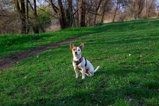 Pies rasy jack russell terrier w lesie na zielonej trawie w kolorowej uprzęży, siedzi na trawie i patrzy w górę, promienie słoneczne padają na jego twarz