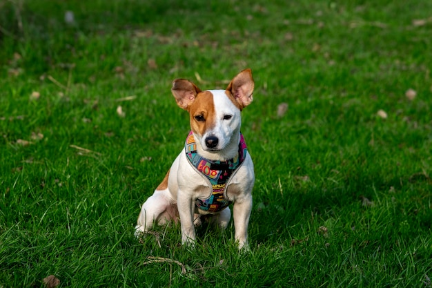 Pies rasy jack russell terrier w lesie na zielonej trawie w kolorowej uprzęży, siedzi na trawie i patrzy w kamerę, promienie słoneczne padają na jego twarz