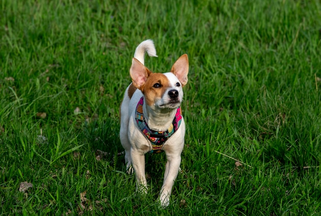Pies rasy jack russell terrier w lesie na zielonej trawie w kolorowej uprzęży, spaceruje po zielonej trawie, patrząc w górę