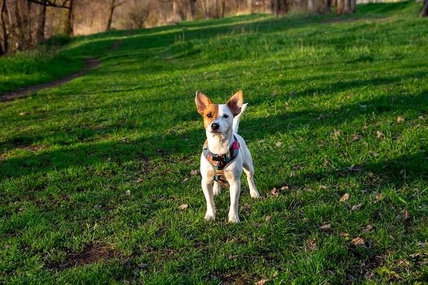 Pies rasy jack russell terrier w lesie na zielonej trawie w kolorowej uprzęży, stoi na trawie i patrzy w kamerę, promienie słoneczne padają na jego twarz